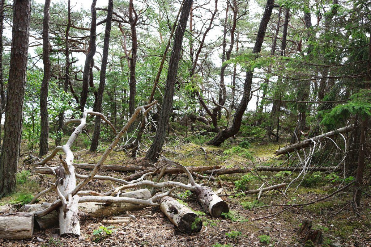 Trollskogen el bosque de los trolls en Öland <br> Foto: Israel Úbeda / sweetsweden.com