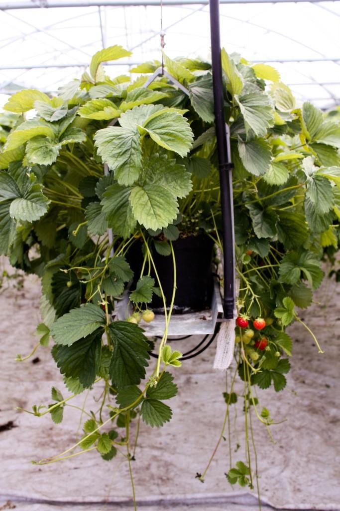 Ingenioso invento para que las fresas aprovechen la luz en Suecia, foto: Israel Úbeda