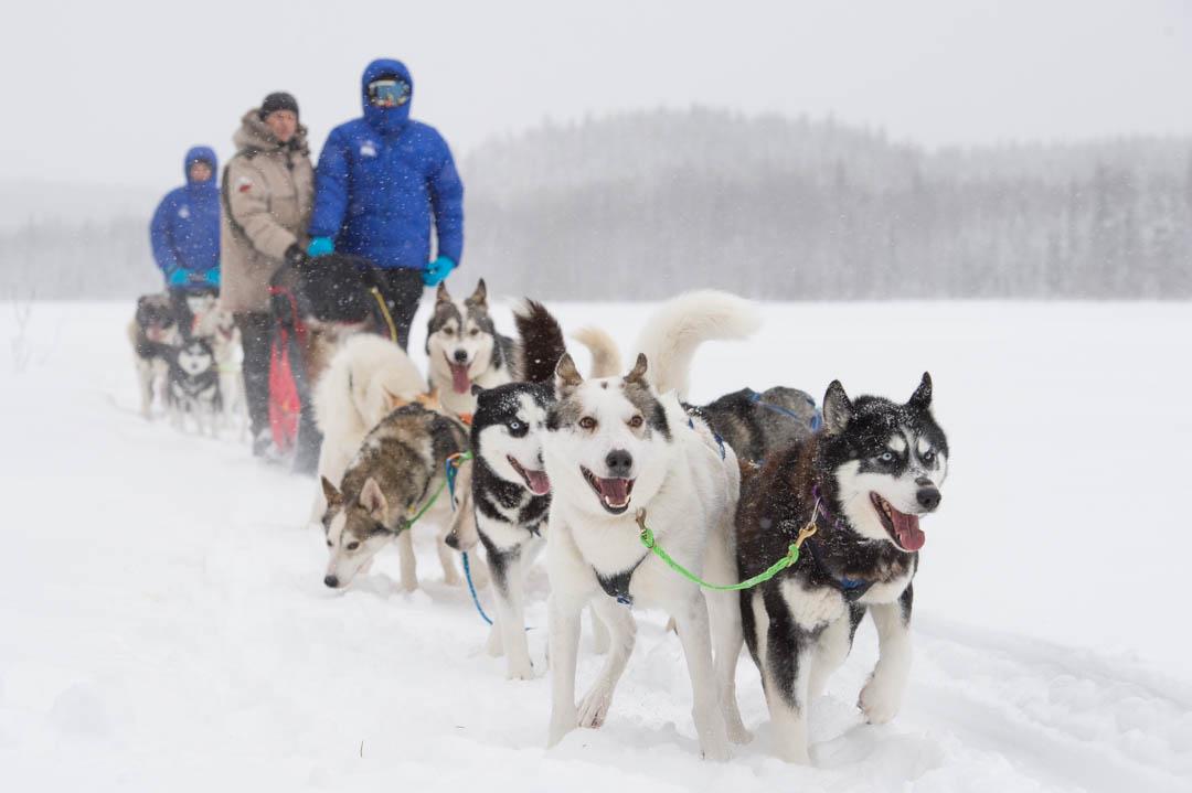 Yo en un trineo tirado por perros en la Laponia sueca <br> Foto: Ted Logart / visitskellefteå.se