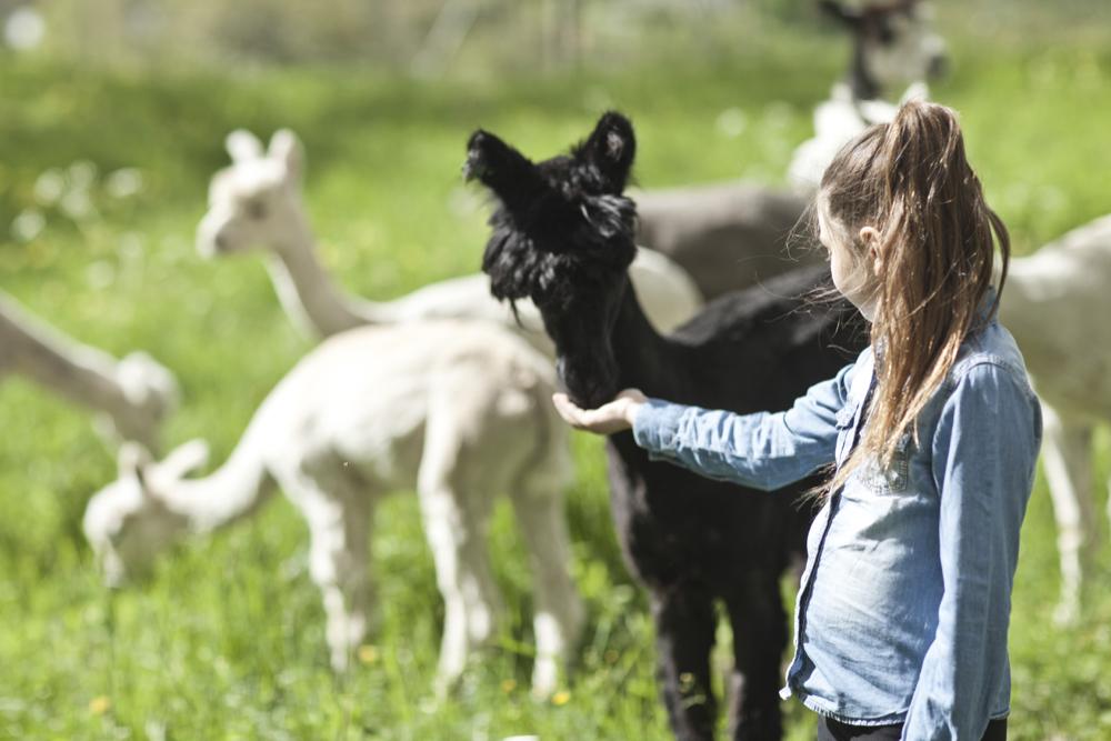 Niña jugando con las alpacas de Siggesta gård <br> Foto: siggestagard.se