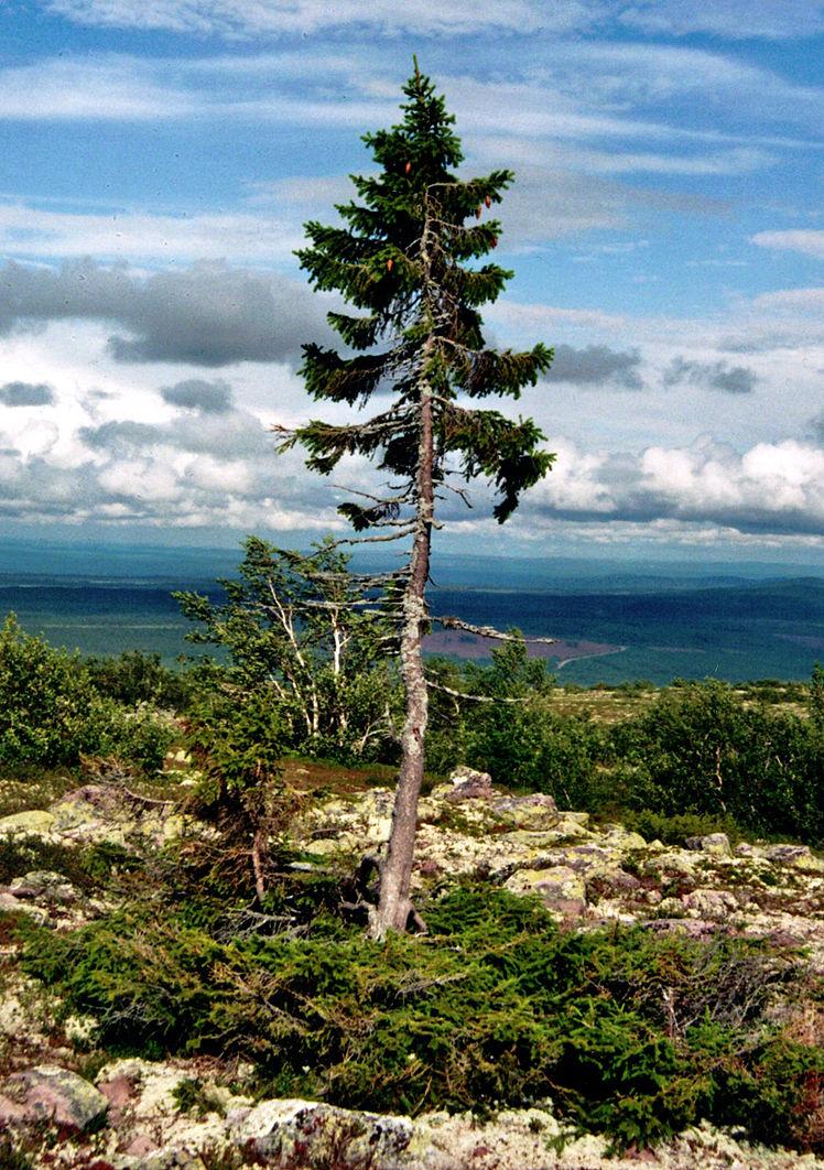 Old Tjikko, el árbol más viejo del mundo en Dalarna, Suecia - Foto: Wikimedia Commons