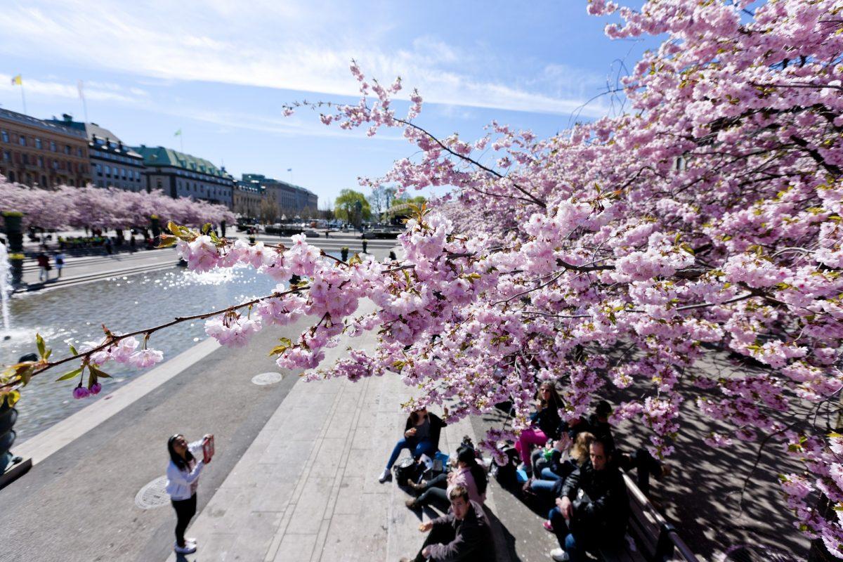 Cerezos en flor en Kungsträdgården, Estocolmo <br> Foto: Henrik Trygg / mediabank.visitstockholm.com