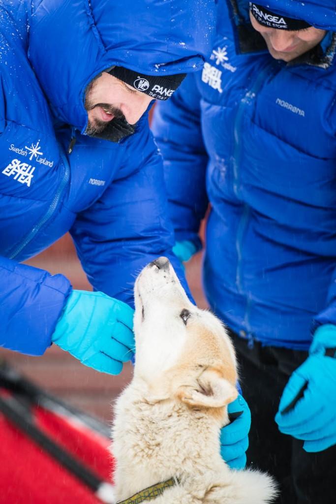 Huskies en Laponia sueca - Foto: Ted Logardt / visitskellefteå.se