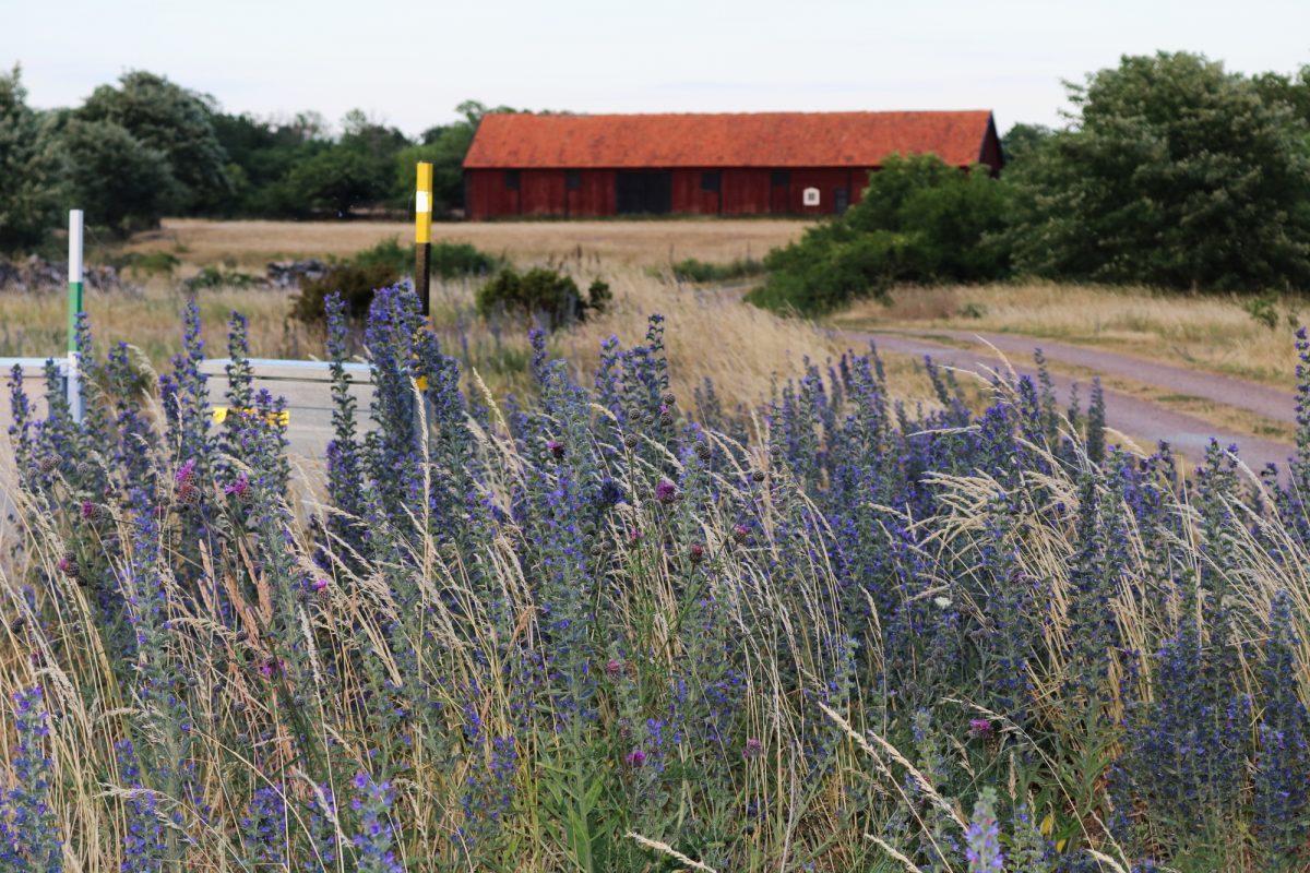 Hierba azul la flor omnipresente en Öland <br> Foto: Israel Úbeda / sweetsweden.com
