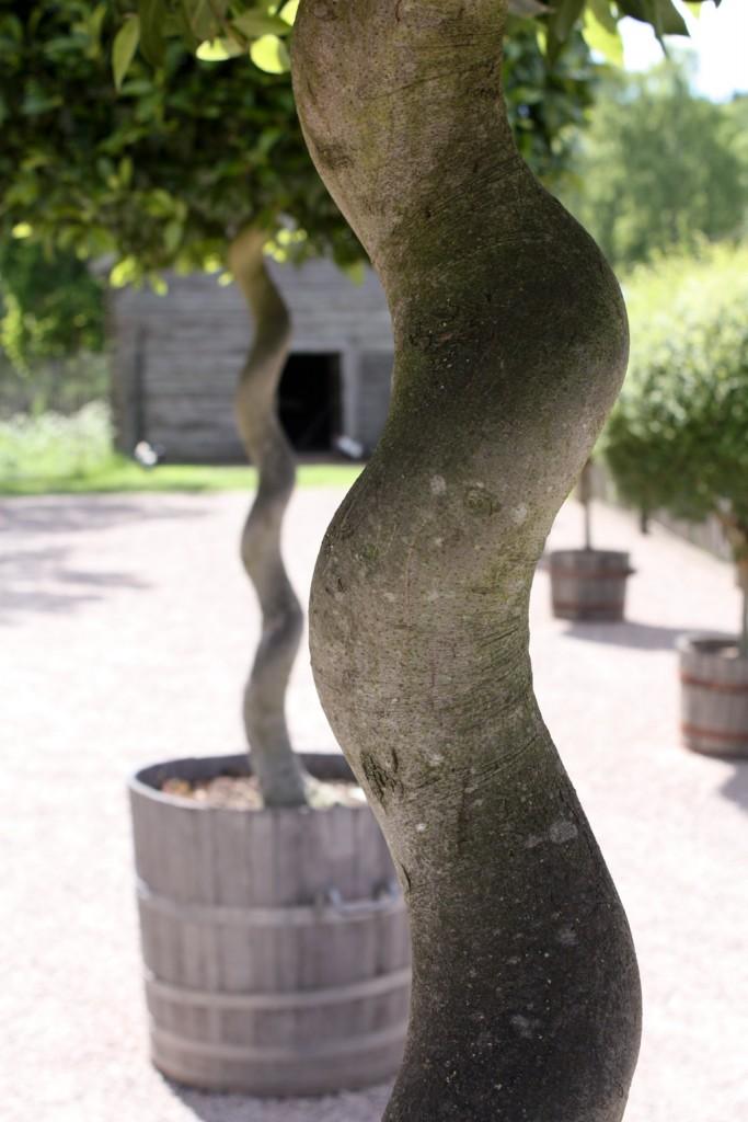 Detalle de troncos curvados en Gunillaberg, Småland - foto: Israel Úbeda