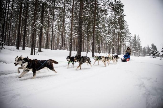 Trineo tirado por perros en los bosques de Laponia sueca - Foto: Ted Logardt / visitskellefteå.se