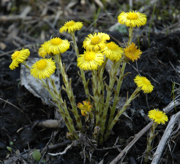 Tussilago farfara - Foto: Kjetil Lenes /  via Wikimedia Commons