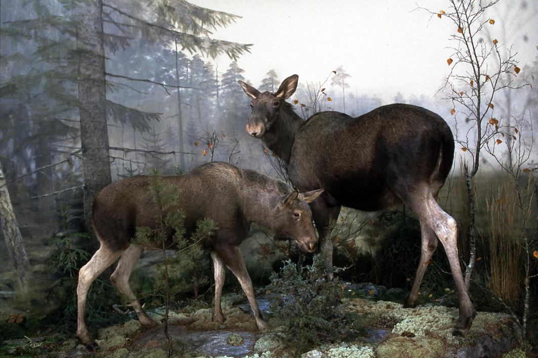 Conociendo a los alces en el Museo de Historia Natural de Estocolmo <br> Foto: Staffan Waerndt / NRM